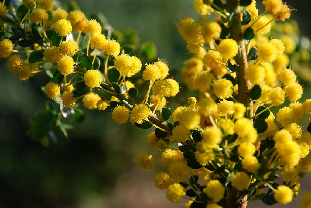 gold dust wattle plant image