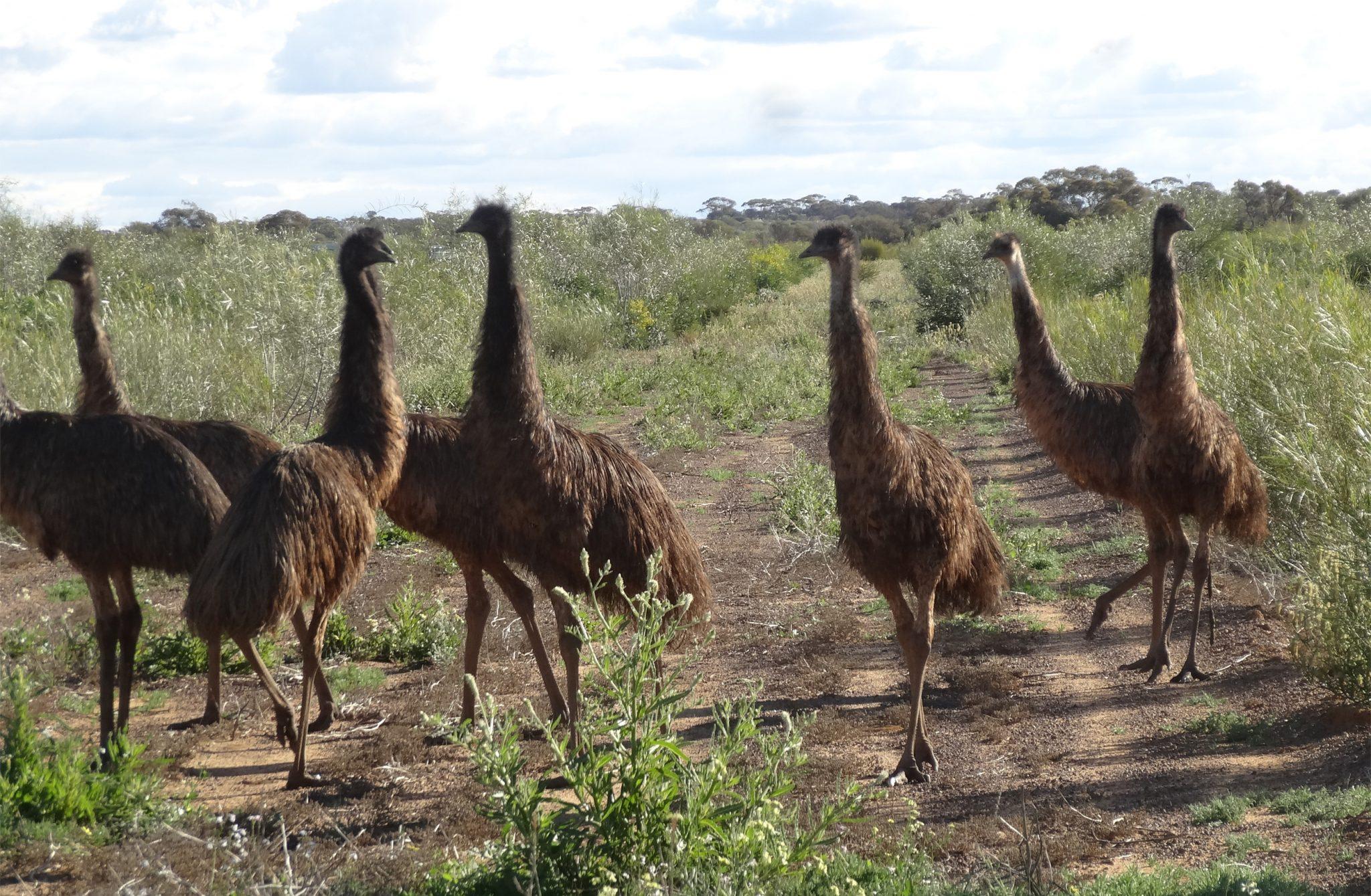 emu on the plantations