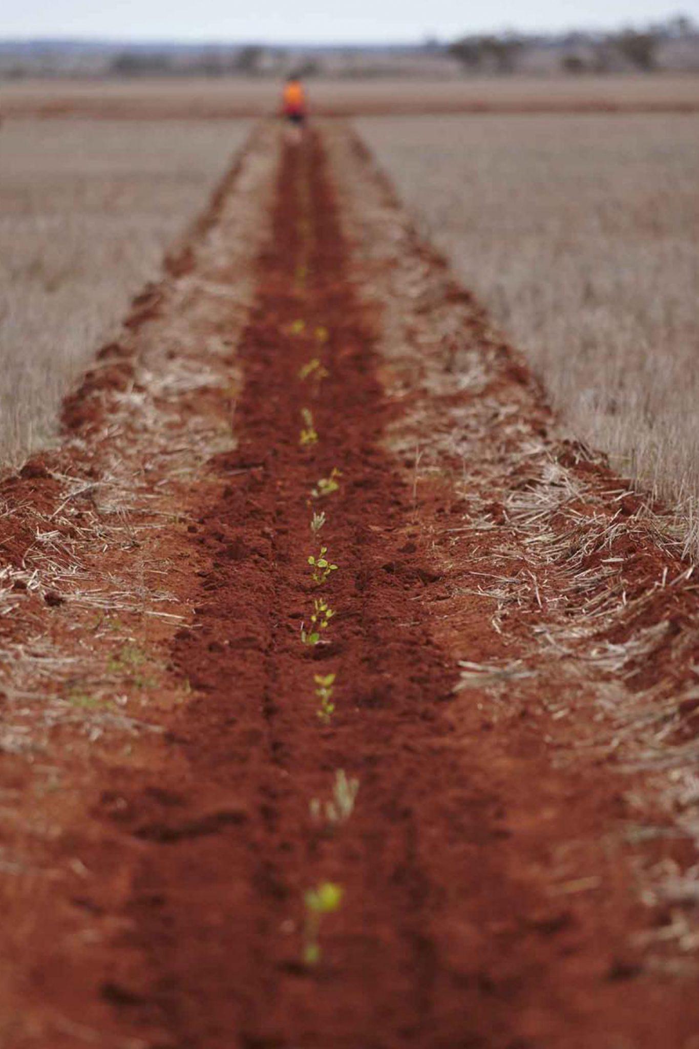 row of seedlings in dirt